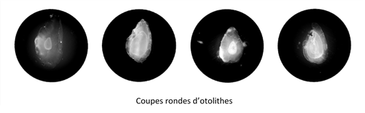 Coupes rondes otolithes TRL